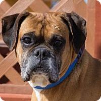 Boxer Dog for adoption in Colorado Springs, Colorado - Banjo