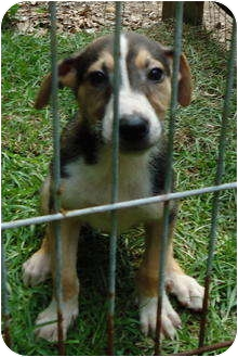 German Shepherd Dog/Treeing Walker Coonhound Mix Puppy for adoption in Pike Road, Alabama - Ringo