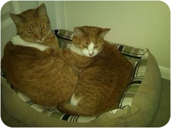 Domestic Shorthair Cat for adoption in Little Falls, New Jersey - Mini & Mao