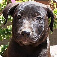 Adopt A Pet :: Sioa - Gilbert, AZ