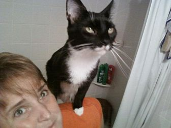 Domestic Shorthair Cat for adoption in Clarkson, Kentucky - Bishop