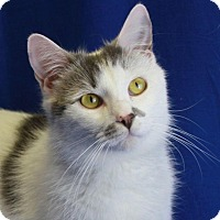 Domestic Shorthair Cat for adoption in Winston-Salem, North Carolina - Archie
