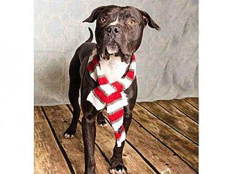 American Bulldog/Great Dane Mix Dog for adoption in Salt Lake City, Utah - *HOSS*
