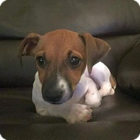 Adopt A Pet :: Web - Knoxville, TN