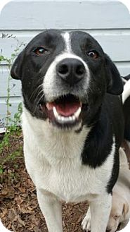 Border Collie/Labrador Retriever Mix Dog for adoption in Houston, Texas - Ivy