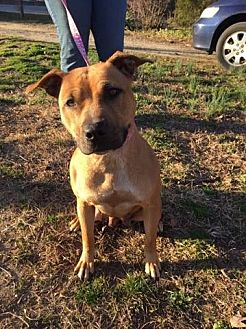 American Staffordshire Terrier Mix Dog for adoption in Denton, Maryland - Annalyce