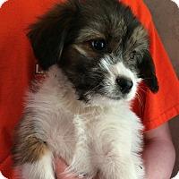 Adopt A Pet :: Phoebe - Kittery, ME
