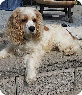 Cocker Spaniel Dog for adoption in Santa Barbara, California - Chester
