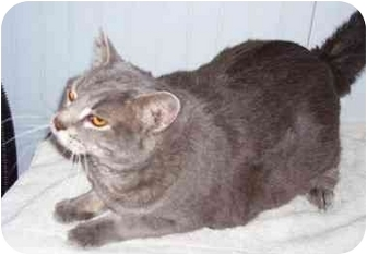 Domestic Shorthair Cat for adoption in Odenton, Maryland - Dusty