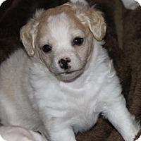 Adopt A Pet :: Beau - La Habra Heights, CA
