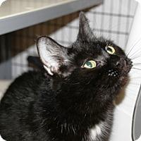 Domestic Shorthair Cat for adoption in Kalamazoo, Michigan - Sally - Val