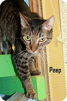 American Shorthair Cat for adoption in Arkadelphia, Arkansas - Peep