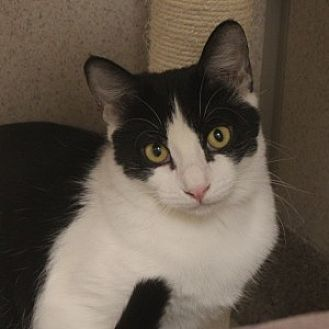 Domestic Shorthair Cat for adoption in Naperville, Illinois - Scampy