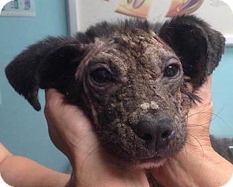 Beagle/Hound (Unknown Type) Mix Puppy for adoption in High Point, North Carolina - Wish