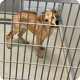 Labrador Retriever/Shepherd (Unknown Type) Mix Dog for adoption in Humble, Texas - Bonny
