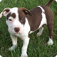 Adopt A Pet :: Reese - Wenonah, NJ