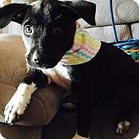 Labrador Retriever Mix Puppy for adoption in New Smyrna Beach, Florida - India