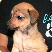 Adopt A Pet :: Pansy - Concord, CA