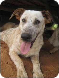 Australian Cattle Dog Mix Puppy for adoption in Nacogdoches, Texas - Freckles