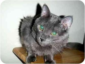 Norwegian Forest Cat Kitten for adoption in Hamilton, Ontario - Dante
