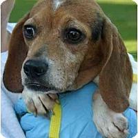 Adopt A Pet :: Satine - Portland, OR