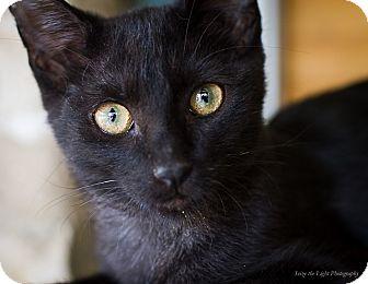 Domestic Shorthair Cat for adoption in Bulverde, Texas - Harper
