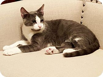 Domestic Shorthair Kitten for adoption in Keller, Texas - Luke