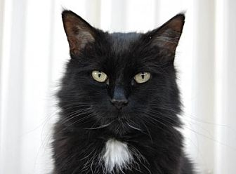 Domestic Longhair Cat for adoption in Denver, Colorado - Uno