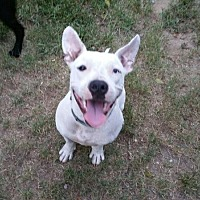 American Pit Bull Terrier Dog for adoption in Columbia, South Carolina - Sero