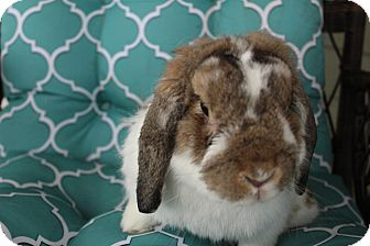 Lop-Eared Mix for adoption in Hillside, New Jersey - Falkor