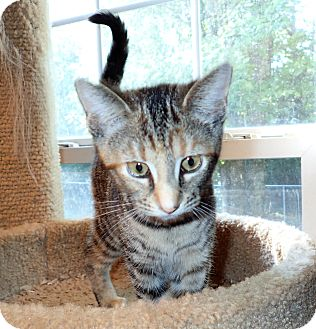 Domestic Shorthair Kitten for adoption in North Wilkesboro, North Carolina - Miley