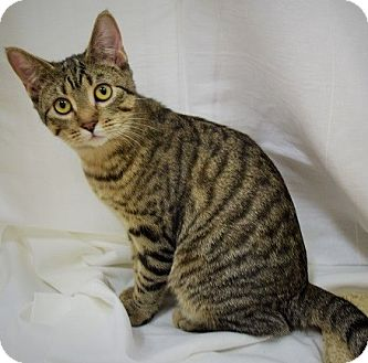 Domestic Shorthair Kitten for adoption in Hillside, Illinois - Thelma-6  MONTHS