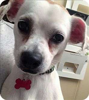 Terrier (Unknown Type, Small)/Pug Mix Dog for adoption in Encino, California - Bolt