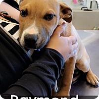 Adopt A Pet :: Raymond - Chico, CA