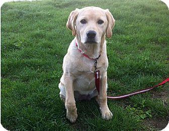 Labrador Retriever Puppy for adoption in Hamilton, Ontario - Lily