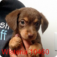 Adopt A Pet :: Wisteria - Greencastle, NC