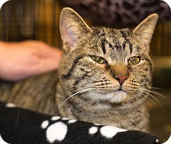 Domestic Shorthair Cat for adoption in Charlotte, North Carolina - A..  Dolly