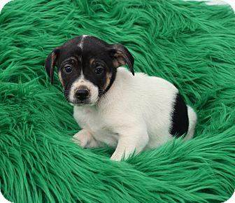 Shepherd (Unknown Type) Mix Puppy for adoption in Groton, Massachusetts - Bronson