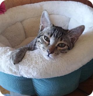 Domestic Shorthair Kitten for adoption in Littleton, Colorado - Ruffian