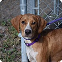Adopt A Pet :: Cupcake - Bradenton, FL