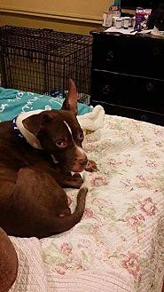 Pit Bull Terrier Dog for adoption in Williston, Vermont - Caspian