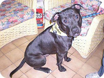 "Pit Bull Terrier Dog for adoption in New Castle, Pennsylvania - "" Volcan """