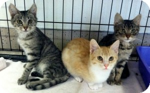 Domestic Shorthair Kitten for adoption in Red Bluff, California - Milton