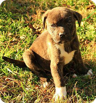 Boxer/Terrier (Unknown Type, Medium) Mix Puppy for adoption in Harrisonburg, Virginia - Courtland