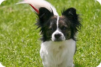 Papillon Mix Puppy for adoption in Avon, New York - Plato