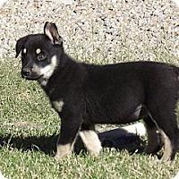 Adopt A Pet :: Hallie - Phoenix, AZ