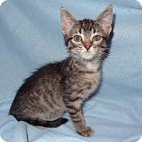 Adopt A Pet :: Dovey - Bentonville, AR