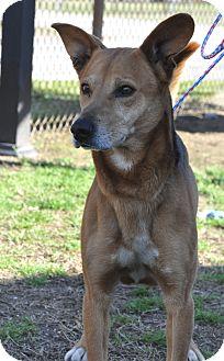 German Shepherd Dog Mix Dog for adoption in Colonial Heights animal shelter, Virginia - Waka
