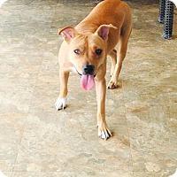 Adopt A Pet :: Calli - Costa Mesa, CA