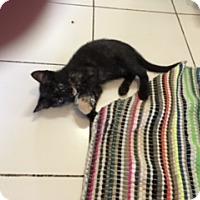 Domestic Mediumhair Cat for adoption in Elk Grove, California - BRYONI